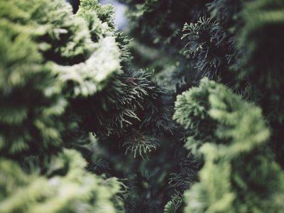 Best fertilizers for Arborvitae