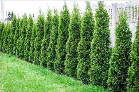 Fertilizers Arborvitae