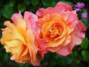 Best Fertilizer for Roses