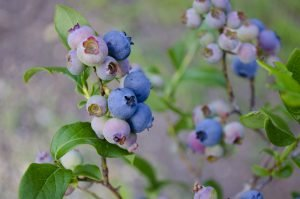 Top Fertilizers for blueberries