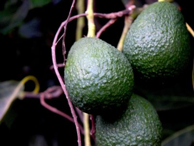 Best Fertilizers for Avocado Trees
