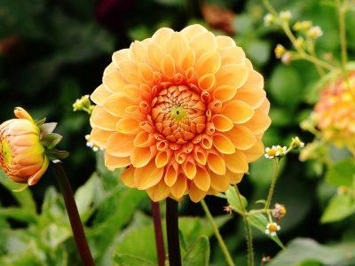 Best Fertilizers for Dahlias