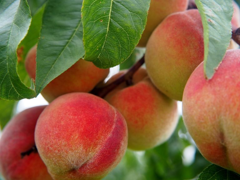 Best Fertilizers for Peach Trees