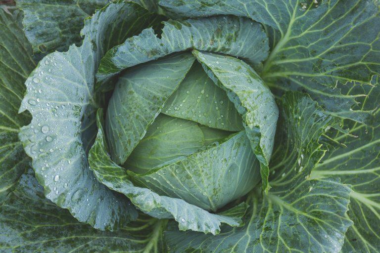Best fertilizer for cabbage