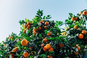 Best fertilizers for citrus trees