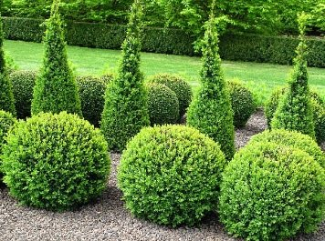 Fertilizers for Boxwood