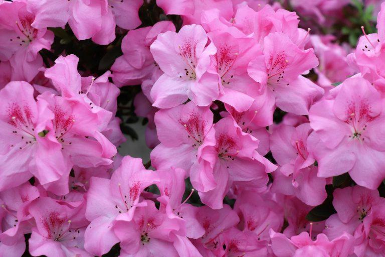 Fertilizers for azaleas2