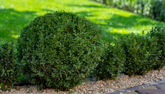 Nutrients for boxwood