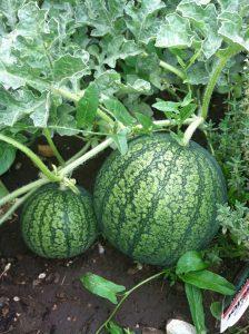 Fertilizers for Watermelon