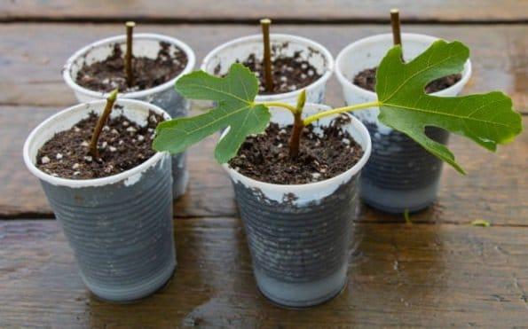 Fiddle Leaf Fig Soil