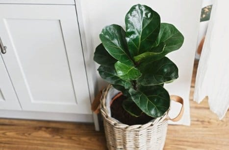 Ficus tree repotted in a woven basket with potting medium