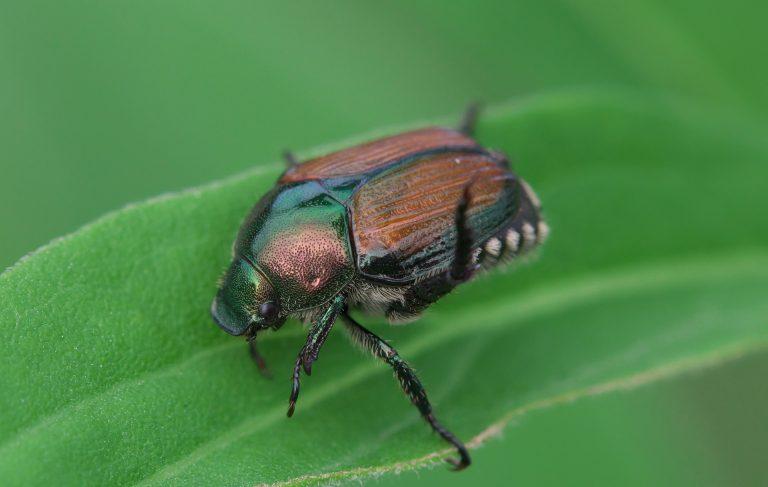 Get rid of Japanese Beetles