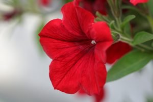 Petunia featured image
