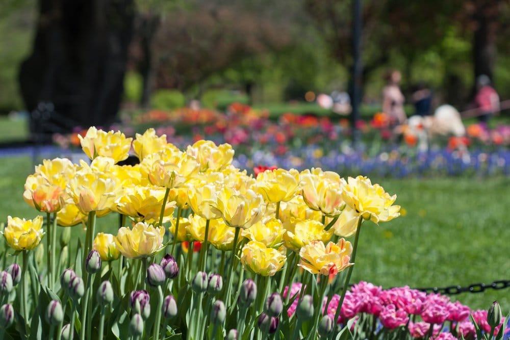 Yellow tulips surrounded by purple and pink tulips in the background in Albany New York
