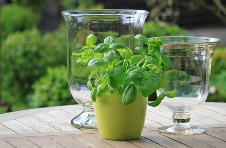 Green herb growing in a green pot near two glass vases on a table