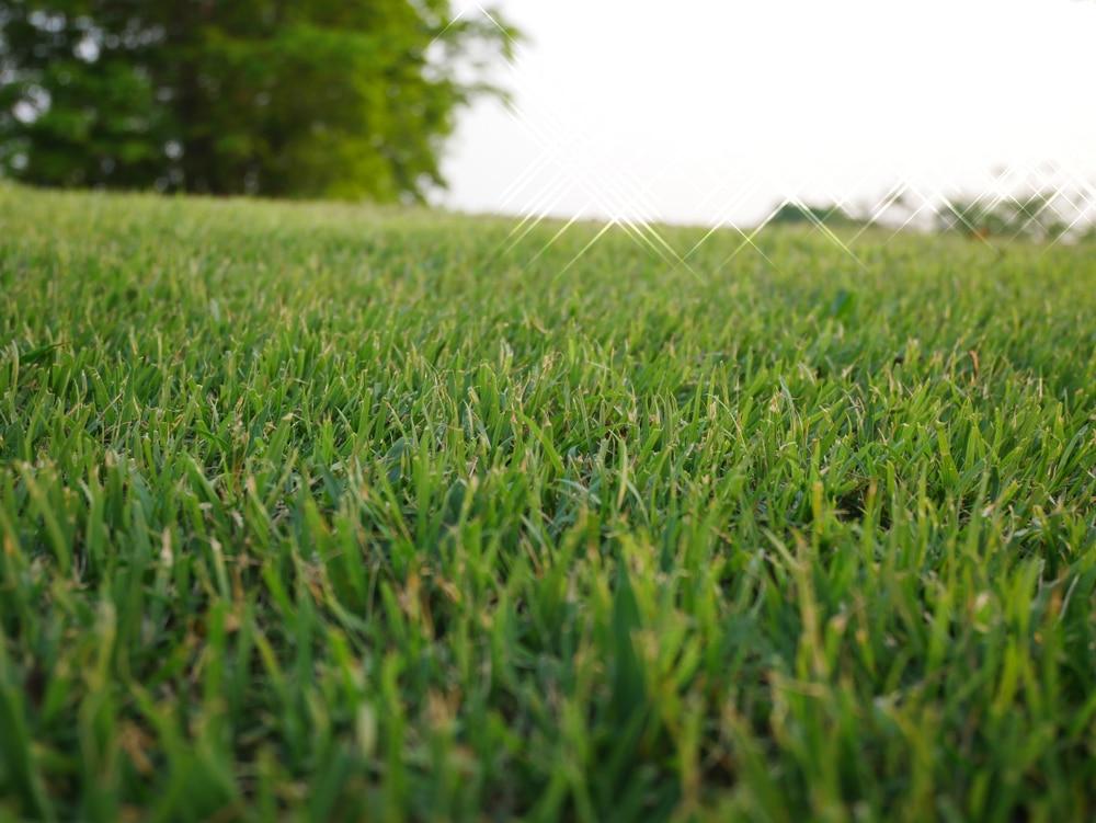 Bermuda grass being well taken care of