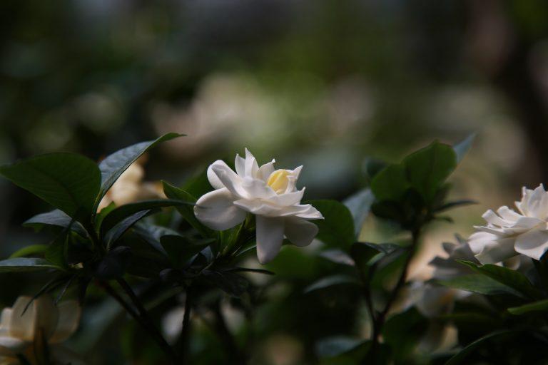 Best Gardenia Fertilizers