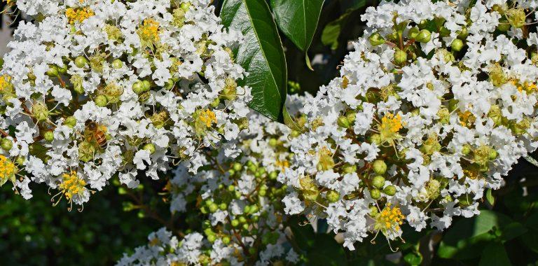 Best fertilizer for crepe myrtle