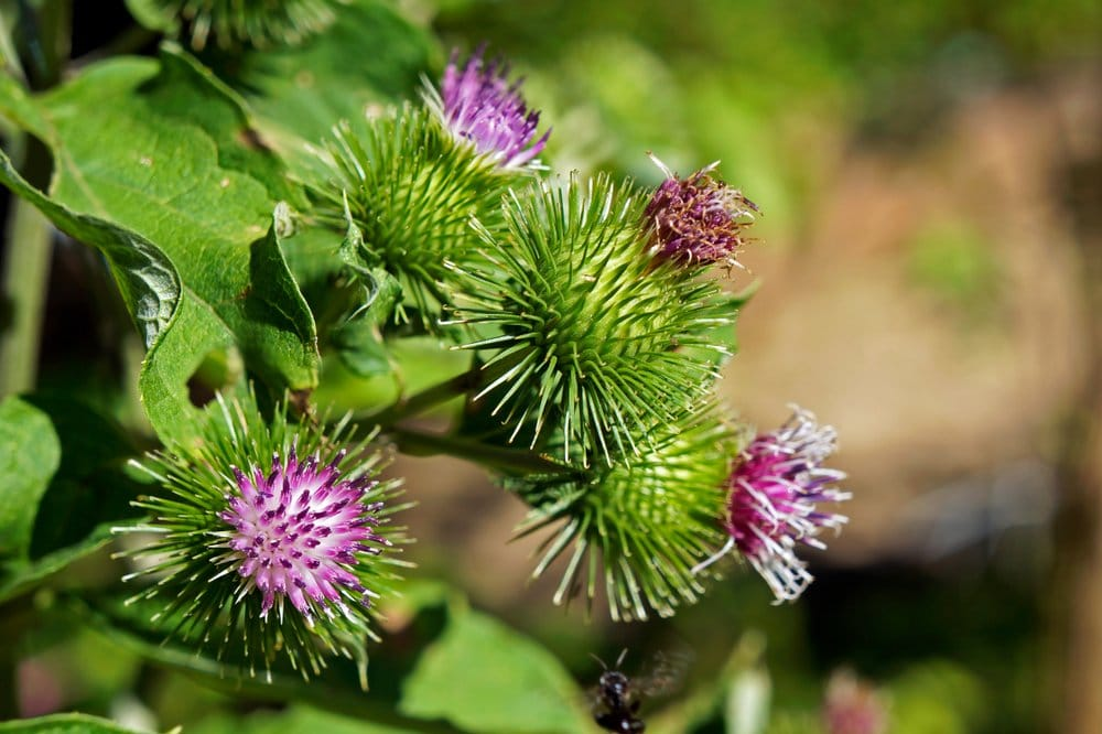 Burdock with their magenta, spiky flowers