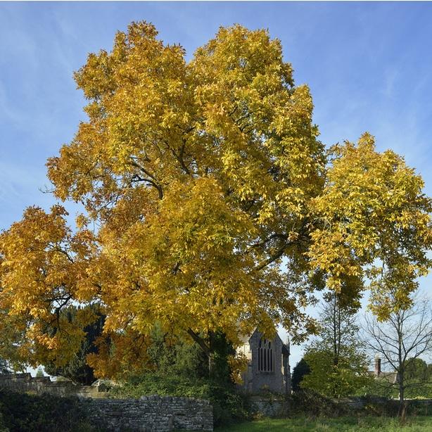 Hickory trees fall in the carya category