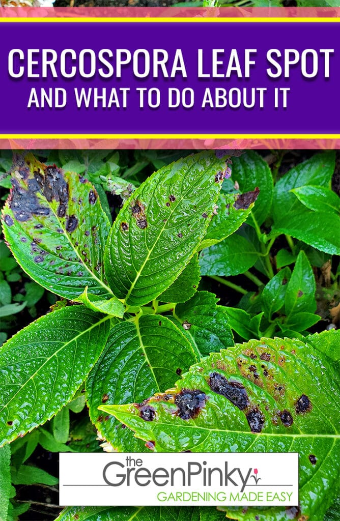 Cercospora leaf spot can be dealt if it is identified early with this guide