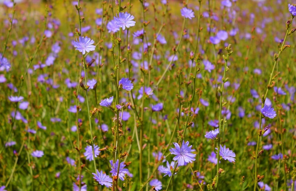 Chicory growing wild as an invasive species