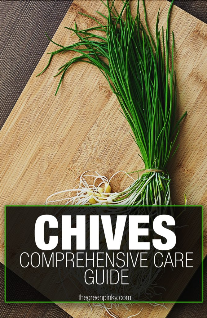 Chives can be harvested and ready to be eaten with a growing guide