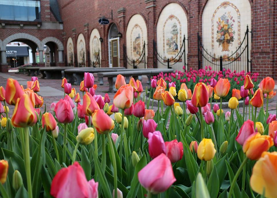 A bunch of tulips sitting in front of a brick building in Pella, Iowa during their Tulip Time Festival