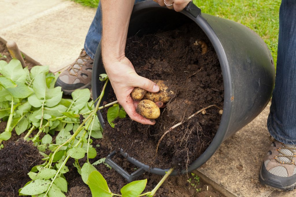 Potatoes that are being harvested out of a large container