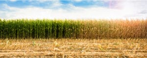 Understanding the life cycle of corn will help you grow it better.