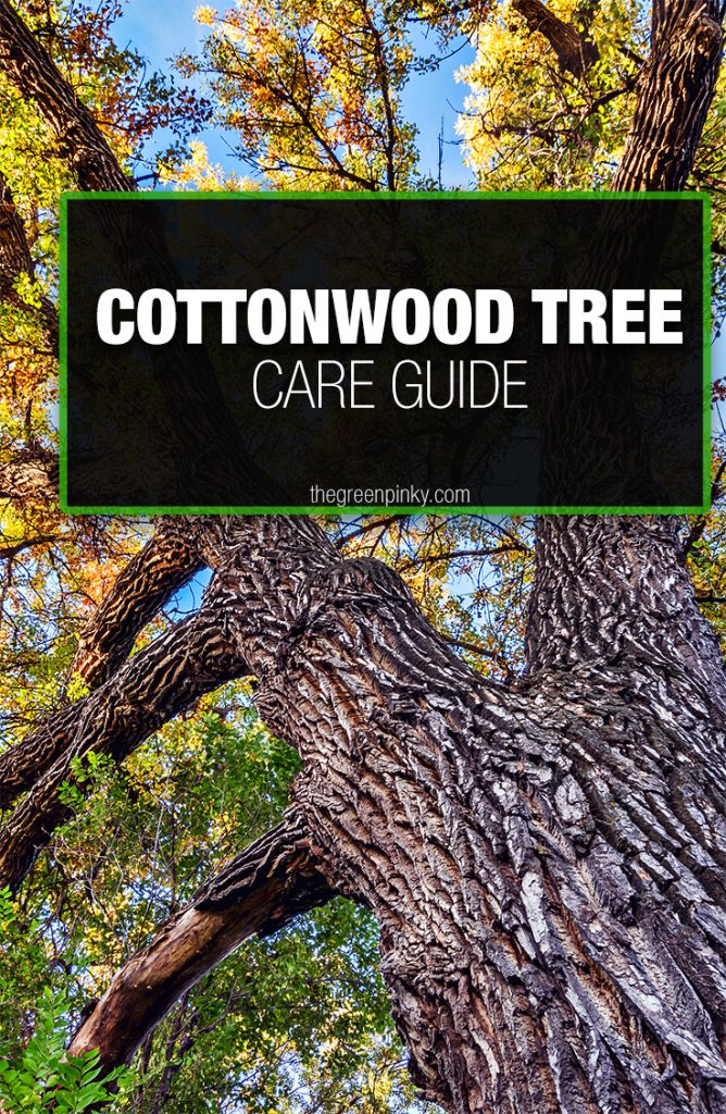 To grow cottonwood trees optimally it requires a care guide.