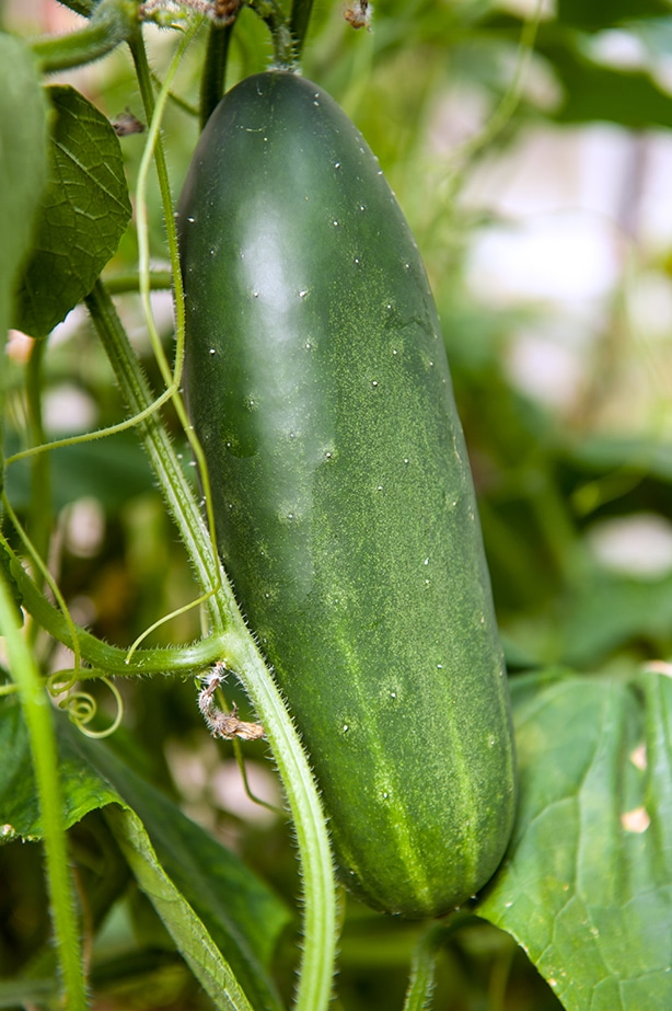 A plump cucumber is almost ready to be harvested