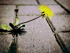 Yellow dandelion growing out of the sidewalk