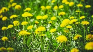 Dandelions are a commonly found type of weed