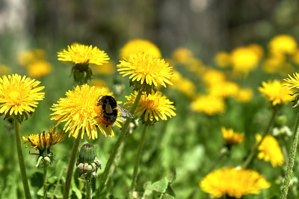 Dandelions will need to be handpulled