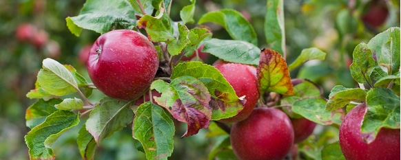 learn about the different types of issues that can plague apple trees