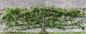 Pruned to be a particular flat shape against a wall