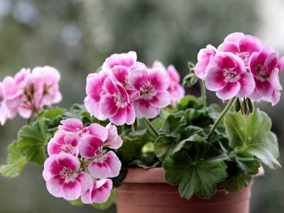 Featured geranium image