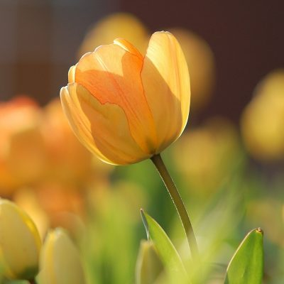 How to Plant Tulips