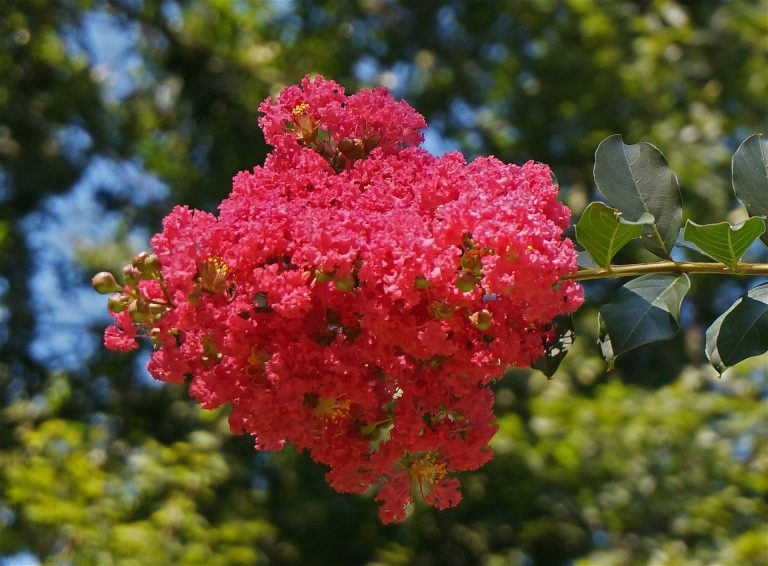 Featured image crepe myrtle