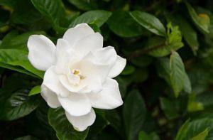 Gardenias featured image