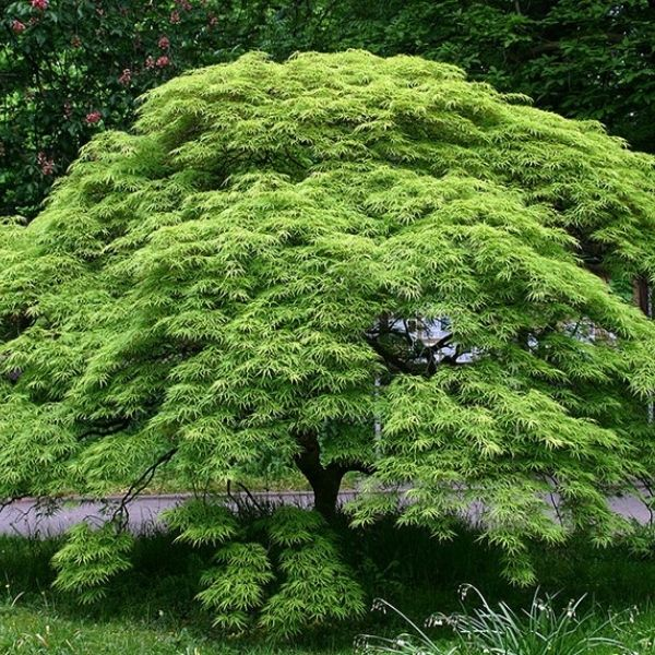 Green laceleaf japanese maple makes a wonderful small tree that can fit in a shade garden.