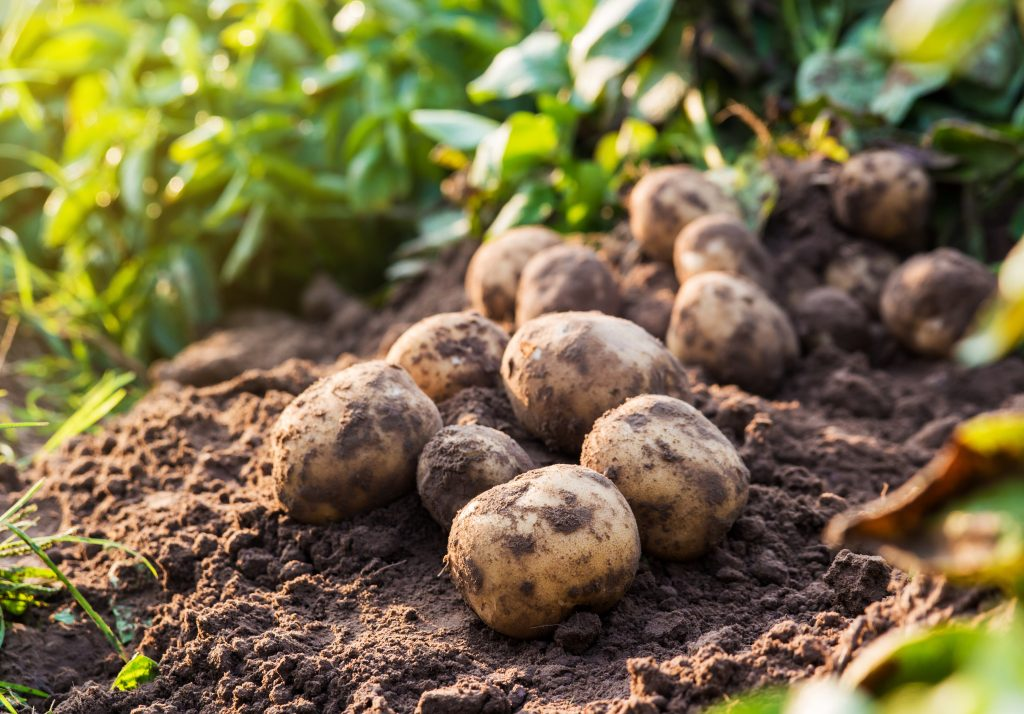 10 potatoes that have been uprooted from the soil fresh from a harvest