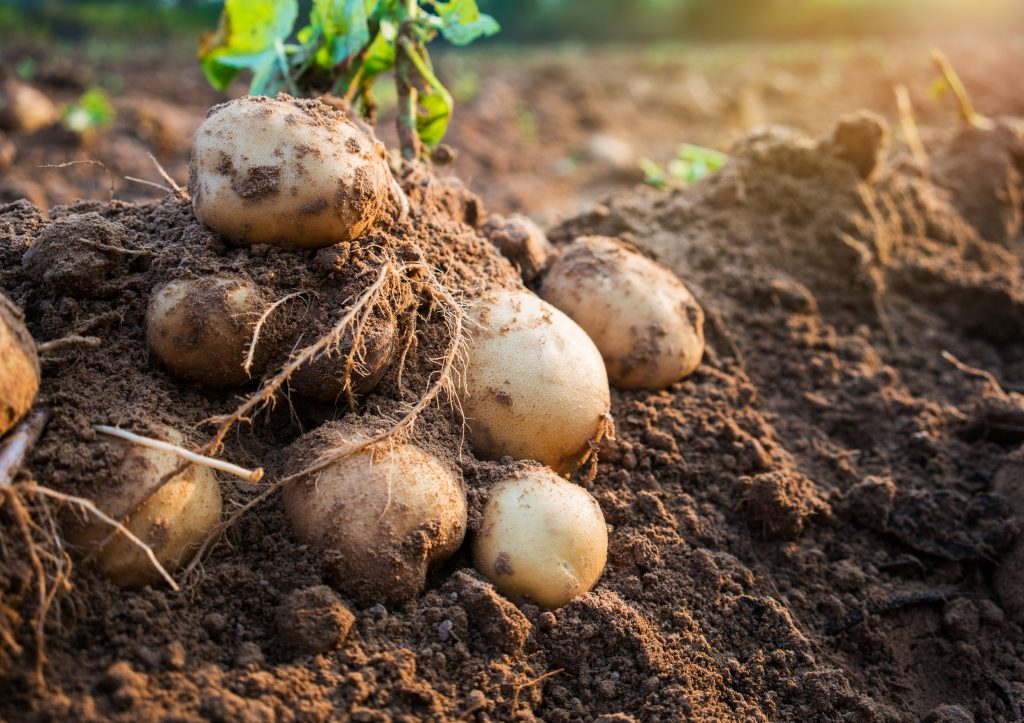 7 potatoes that have just been pulled up from the ground