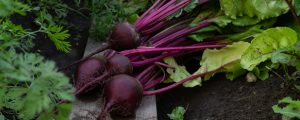 Freshly harvested beets that are healthy and juicy