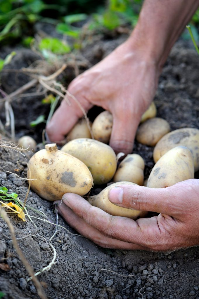 Harvesting a bunch of potatoes from the soil