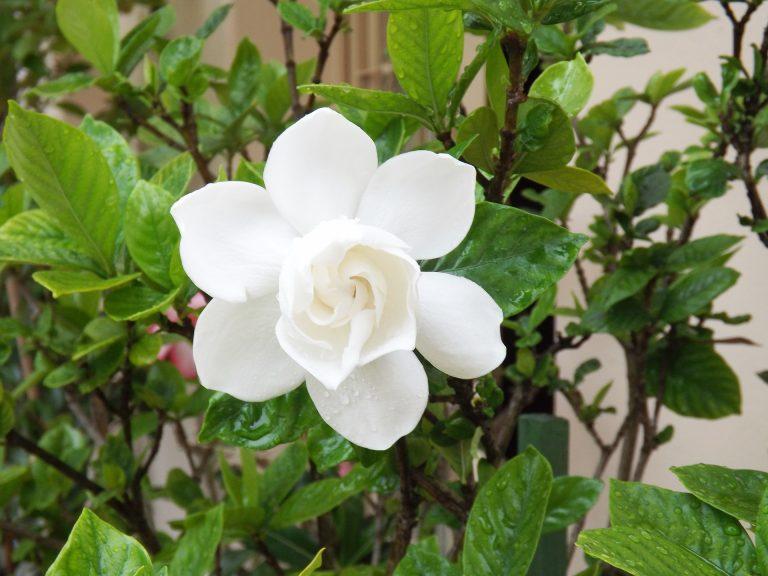 Healthy Gardenia Shrub