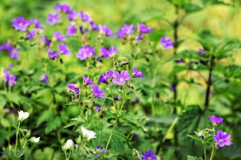 Healthy geranium with good nutrients