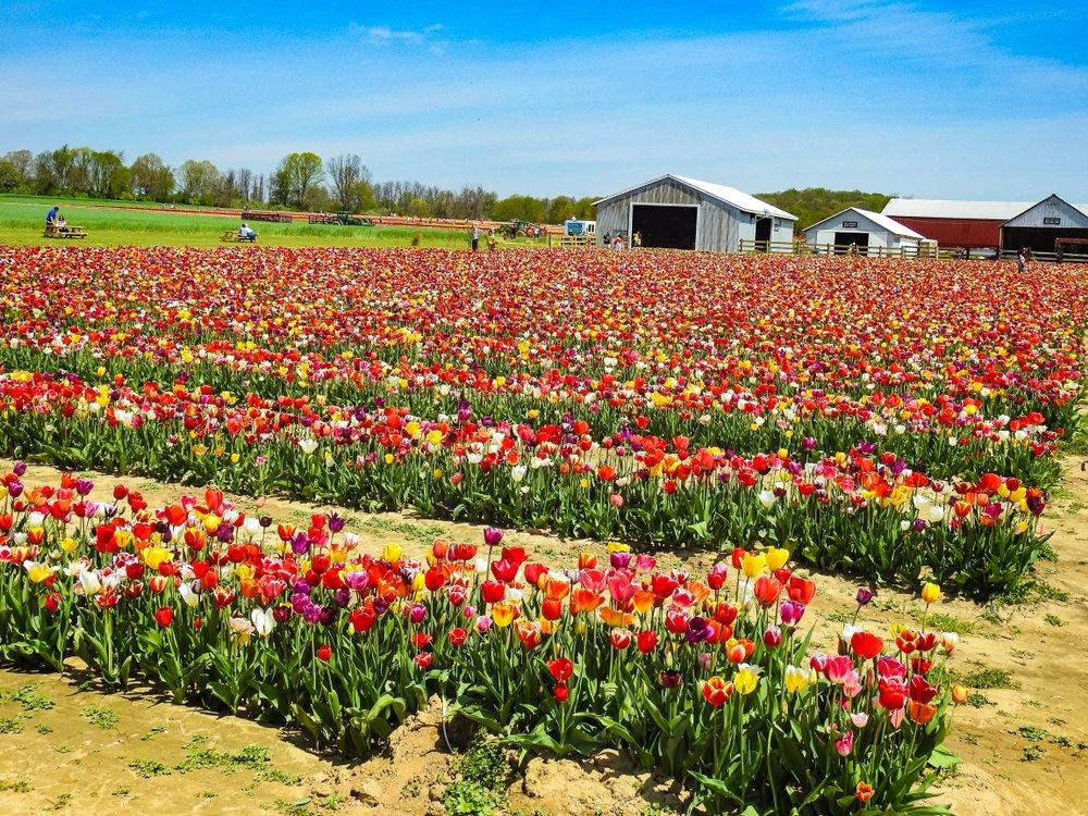 Many rows of multi-color tulips on a farm in holland ridge, cream ridge, New jersey