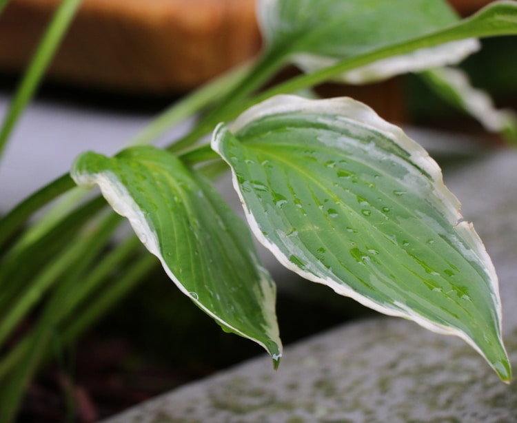 If your hostas roots are in the soil correctly, it will grow robustly.